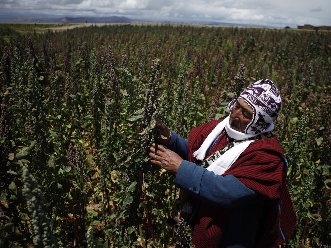 Farmer Geronimo Blanco shows his quinoa plants in Patamanta, Bolivia, in February. A burgeoning global demand for quinoa has led to a threefold price increase since 2006. Photo: Juan Karita/AP
