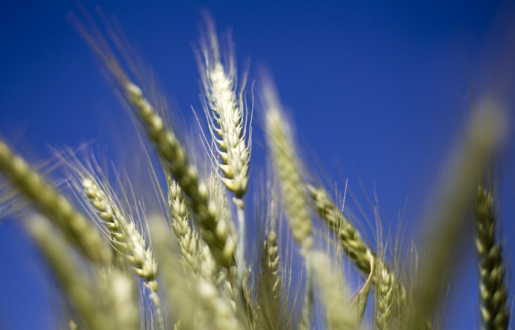 Wheat grows in a test field at Oregon State University in Corvallis. Some scientists believe that there's a chance that genetically modified wheat found in one farmer's field in May is still in the seed supply. Photo: Natalie Behring/Bloomberg via Getty Images