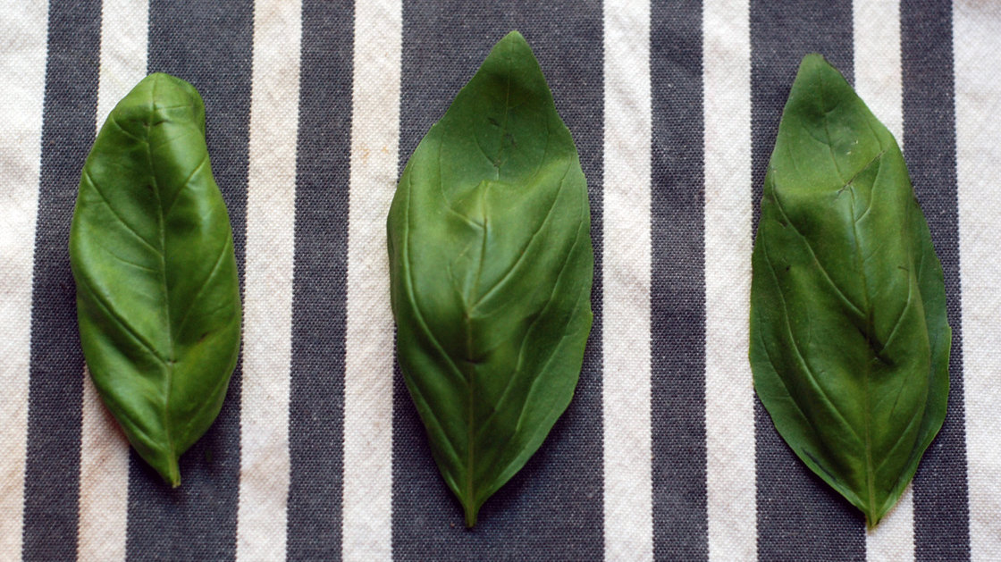 Basil. Photo: Serri Graslie