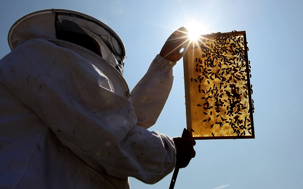 Beekeeper and Chairman of The London Beekeepers Association John Chapple installs a new bee hive on an urban rooftop garden in 2009 in London, England. The UK has an estimated 274,000 bee colonies, with each one containing around 20,000 bees.Photo: Dan Kitwood/Getty Images