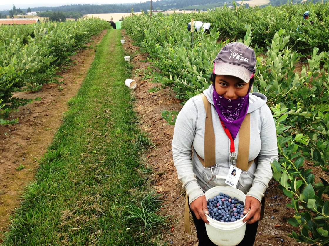 Picker Erika Nicolas Garcia, 18, fills her pail at a blueberry farm near Hillsboro, Ore. Photo: Anna King/Northwest Public Radio