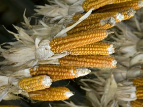 The heirloom corn variety has only eight rows of kernels and hence, its name: New England Eight Row Flint. Photo: Courtesy of Stone Barns Center for Food & Agriculture