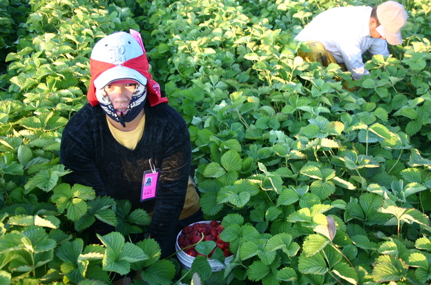 Marcelina, a Triqui Mexican, picks strawberries at a farm in Washington State. Photo: Courtesy of Seth M. Holmes