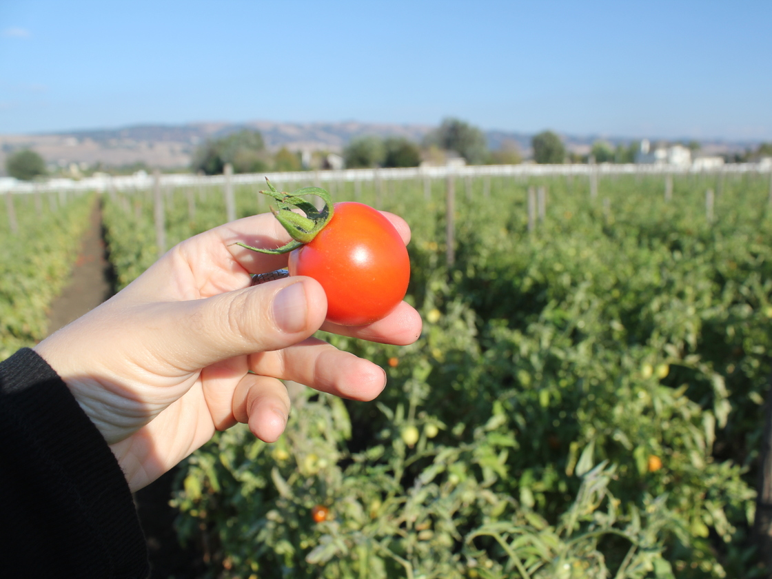 At Happy Boy Farms near Santa Cruz, Calif., Early Girl tomatoes are grown using dry farming methods. The tomatoes have become increasingly popular with chefs and wholesalers. Photo: Courtesy Jen Lynne/Happy Boy Farms