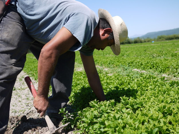 Celerino Sanchez, an H-2A worker from Guerrero, Mexico, weeds rows of mint at HerbCo International in Duvall, Wash. Photo: Liz Jones/NPR