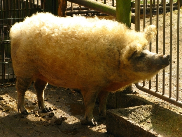 The Mangalitsa Pig: Bringing Home The Woolly Bacon From Hungary