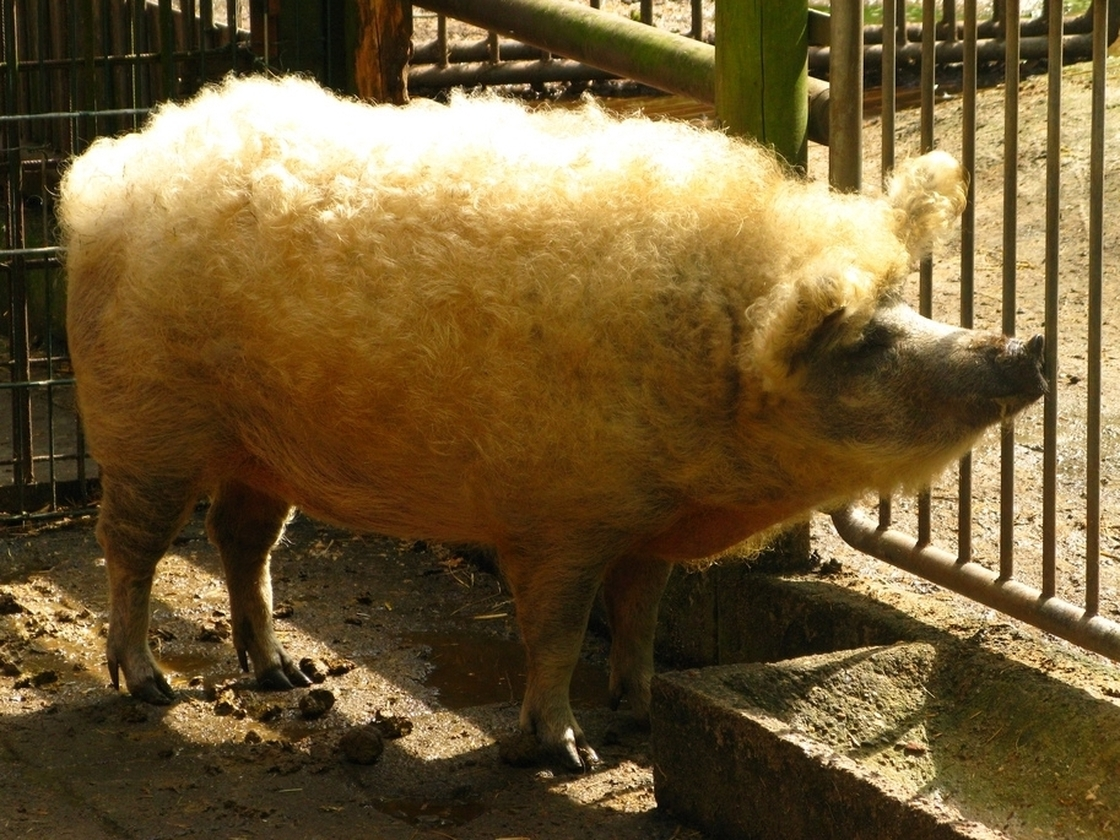 A Mangalitsa pig in 2008. Photo: Li'l Wolk/Flickr