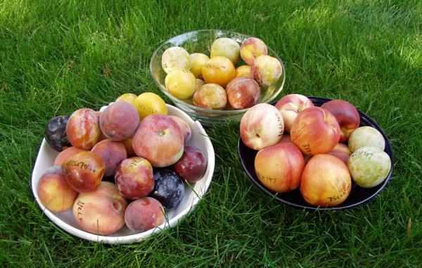 Fruit bowl photo courtesy of Dave Wilson Nursery