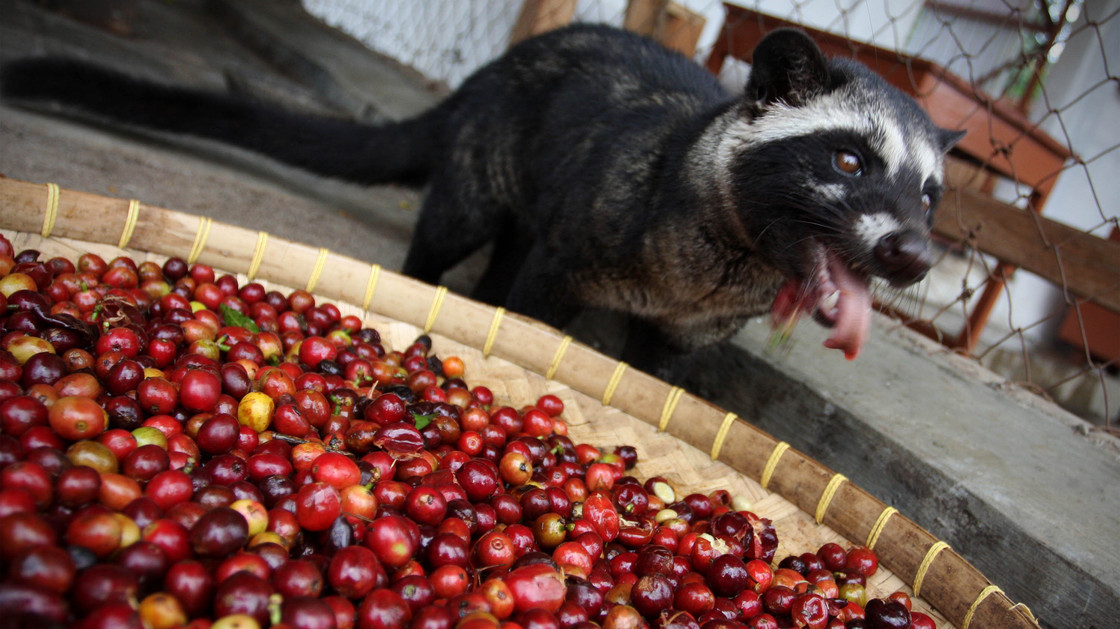 Civet coffee - photo#24