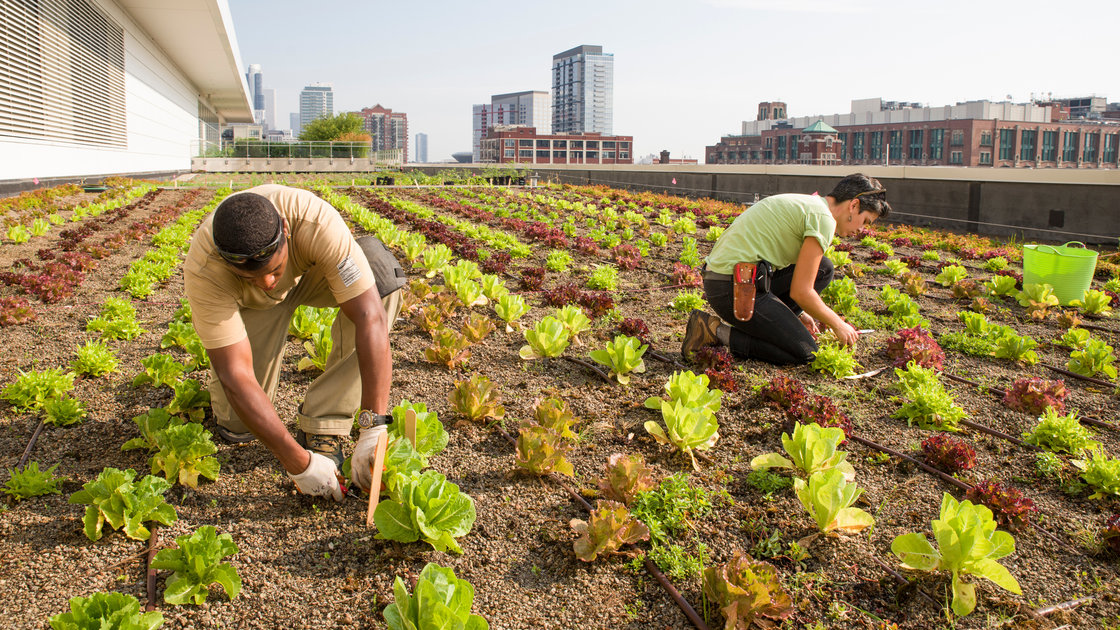 Stacey Kimmons and Audra Lewicki harvest lettuce at the Chicago Botanic Garden's 20,000-square-foot vegetable garden atop McCormick Place West in Chicago. Photo: Courtesy of the Chicago Botanic Garden