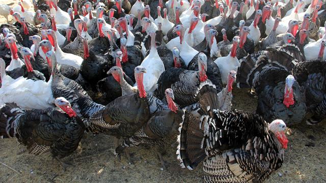 Talking Turkey: How to Choose Your Thanksgiving Bird