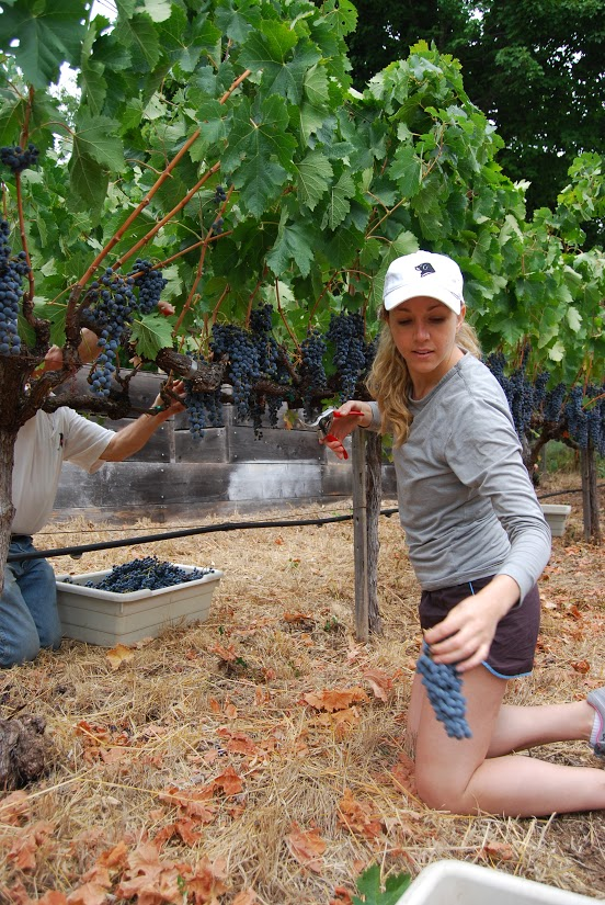 Merlot and Cabernet Franc were more than ready to pick on Hendrick's family vineyard—some of the clusters had already been decimated by the birds.  Photo: Lisa Regalla
