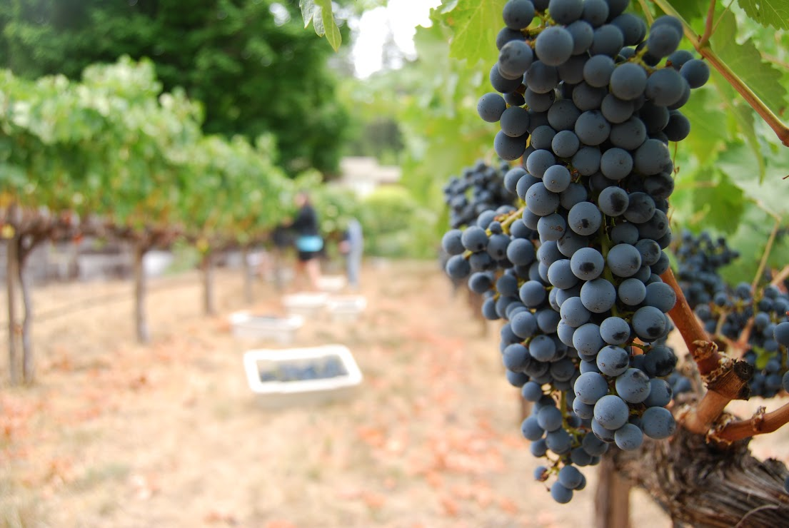 California has the ideal conditions for wine grapes including sediment rich soil coupled with hot days and cool nights, making it the fourth largest wine producer in the world. Photo: Lindsey Hoshaw