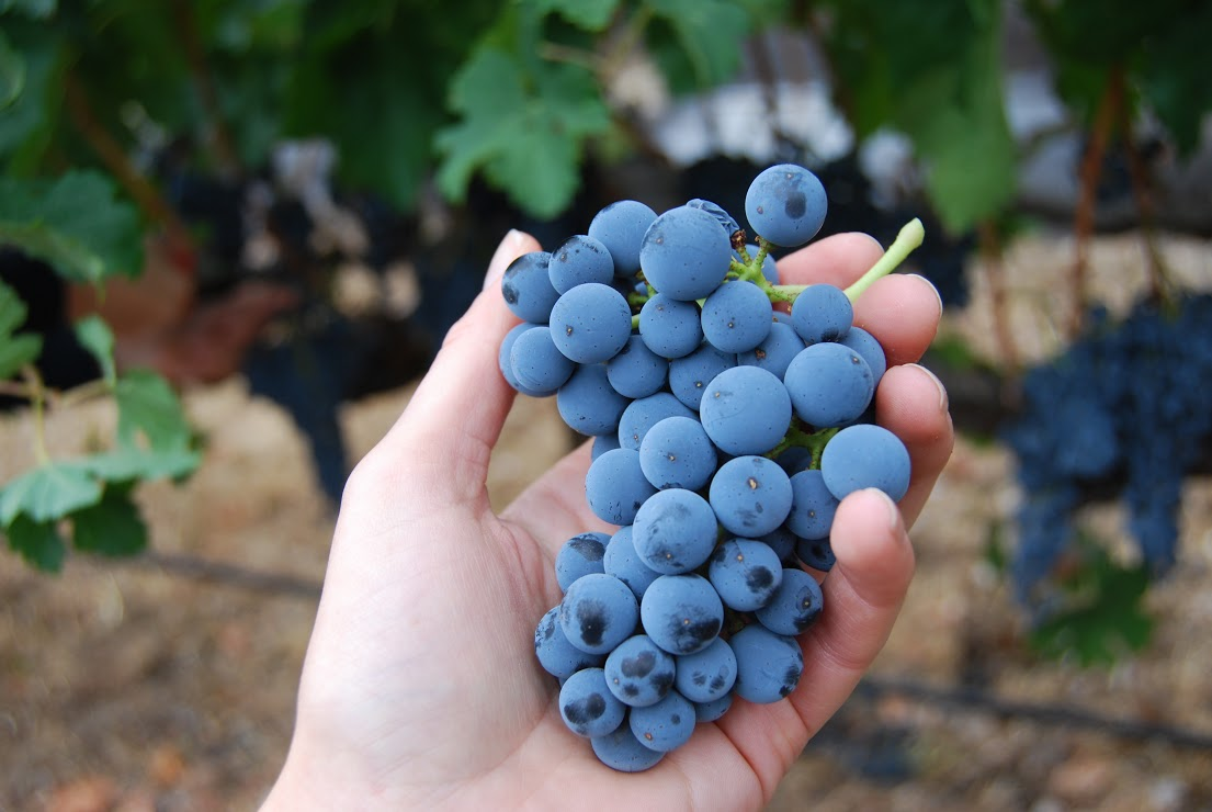 Wild yeast covers Merlot grapes giving them a frosty look. Photo: Lindsey Hoshaw
