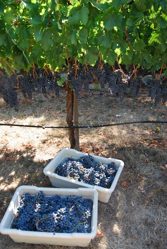 Buckets of Cabernet Franc waiting to be pressed. Though we picked at noon, professional vintners often pick at night to avoid high temperatures. Photo: Lindsey Hoshaw
