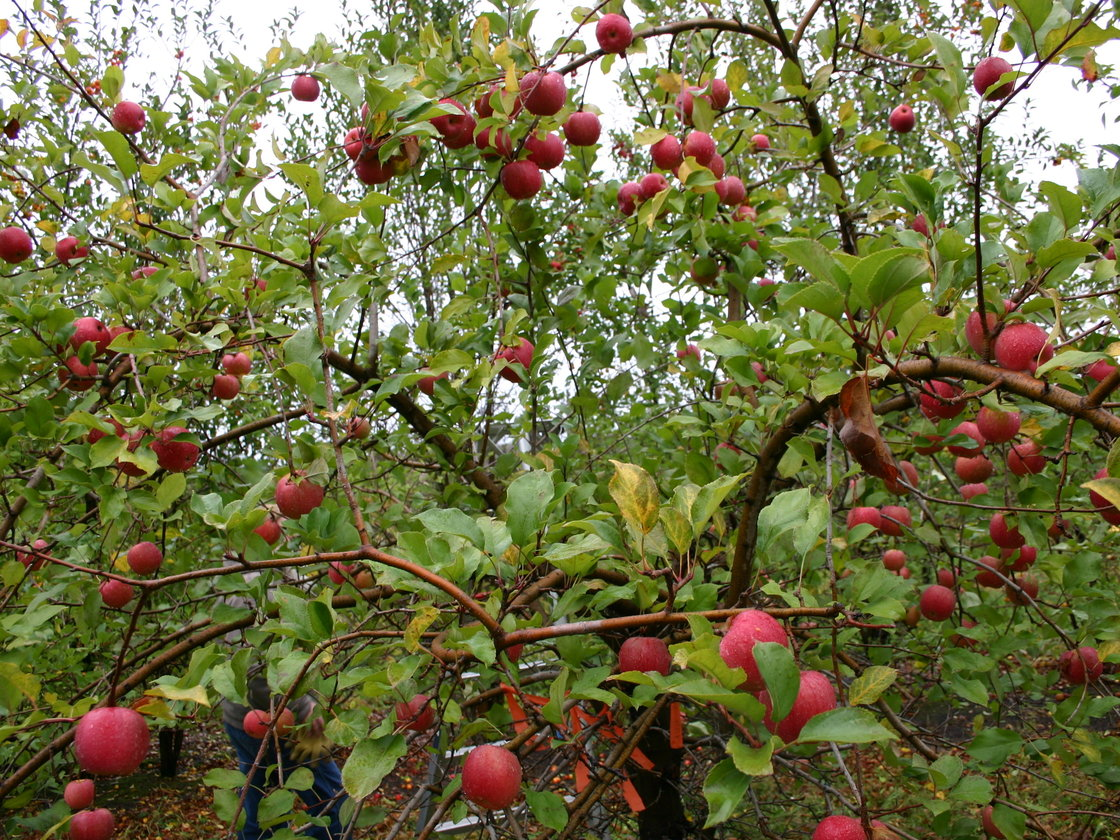 The Midwest Apple Improvement Association planted about 50,000 seeds as part of the development process for the EverCrisp. It takes four or five years before the resulting trees produce fruit. Photo: Courtesy of Bill Dodd