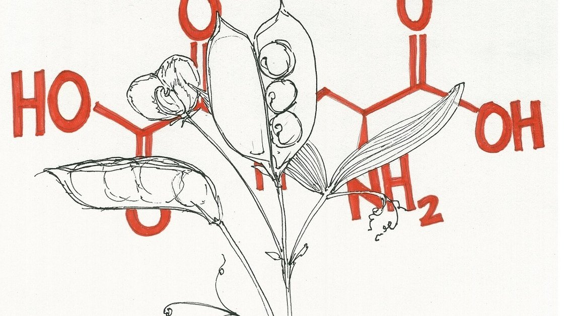 The grass pea contains β-ODAP, a toxin that can cause partial paralysis when eaten too often. Illustration: Rae Ellen Bichell/NPR