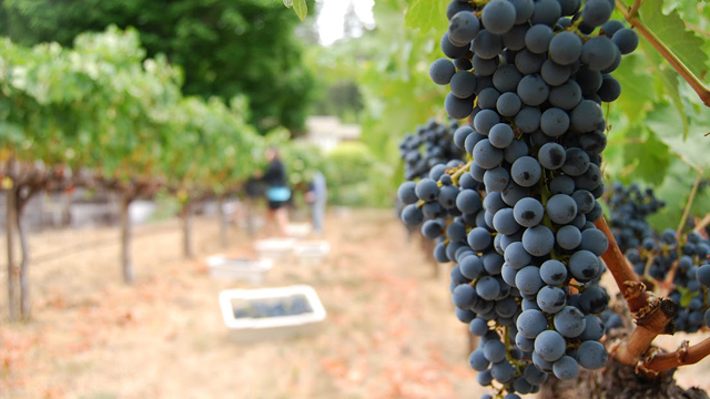 Nine Things You Didn't Know About the Fall Grape Harvest