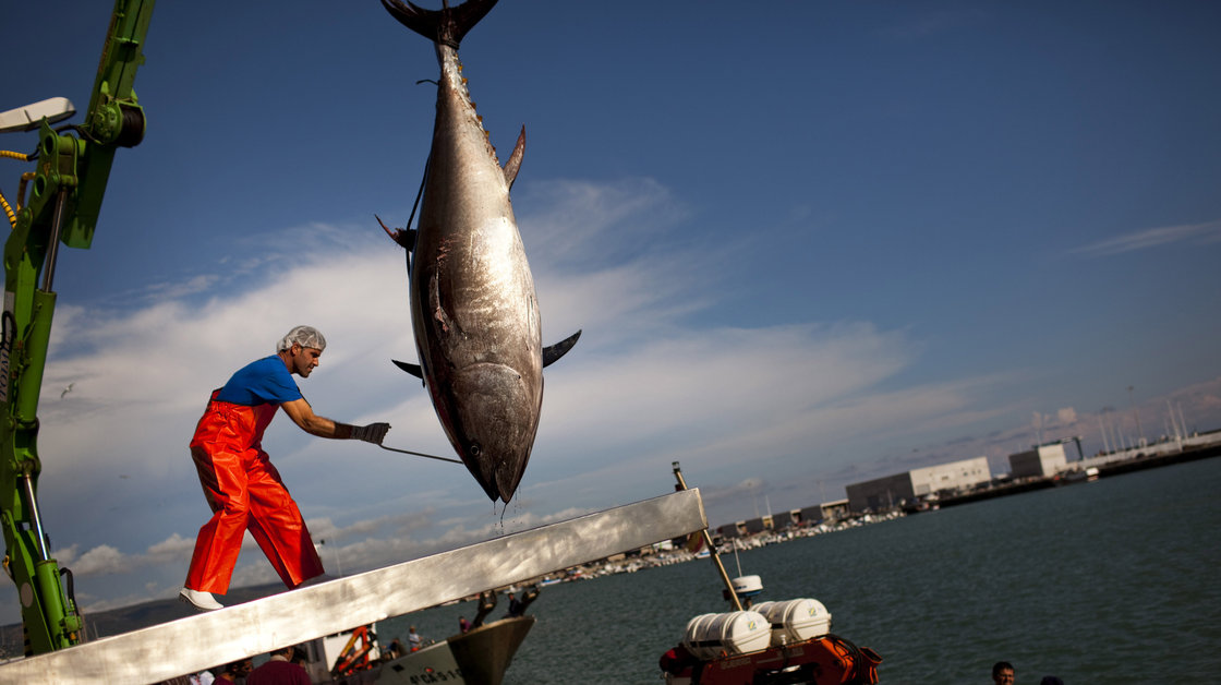 An Almadraba tuna is lifted by a crane in the port of Barbate, Cadiz province, southern Spain. Almadraba tuna is caught by an elaborate and ancient Andalusian fishing method used in Spanish coastal areas close to the Strait of Gibraltar since Phoenician times. Photo: Emilio Morenatti/AP