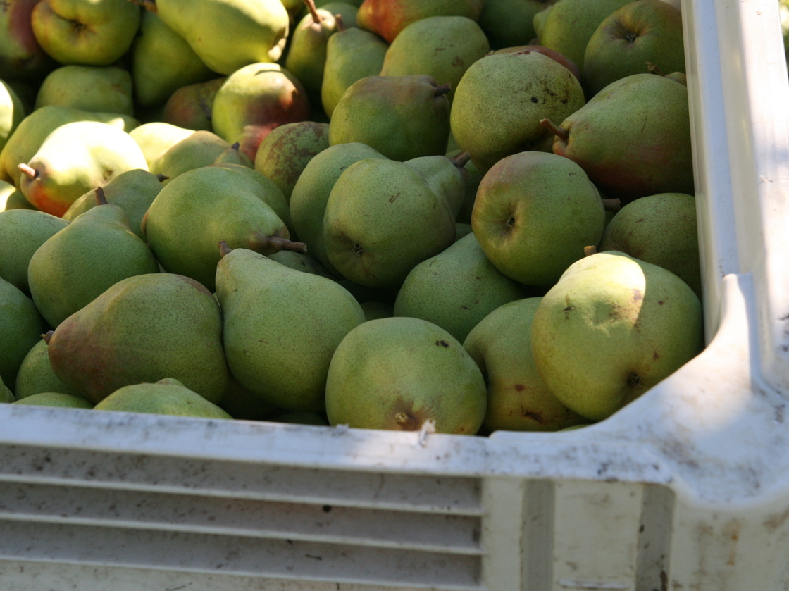Some of this season's Comice pear harvest is rotting in Pacific Northwest orchards because there aren't enough workers to pick it. Photo: Deena Prichep/for NPR