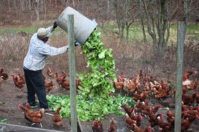 Feeding the chickens at New Morning Farm. Photo: Dan Charles/NPR