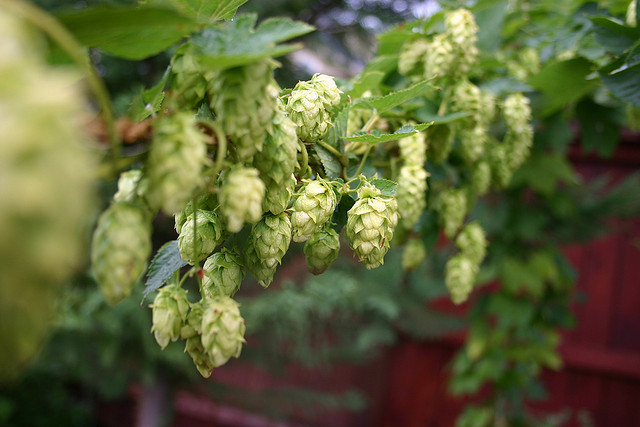 Cascade hops before they're harvested. Photo: Matt & Nicole Cummings/Flickr
