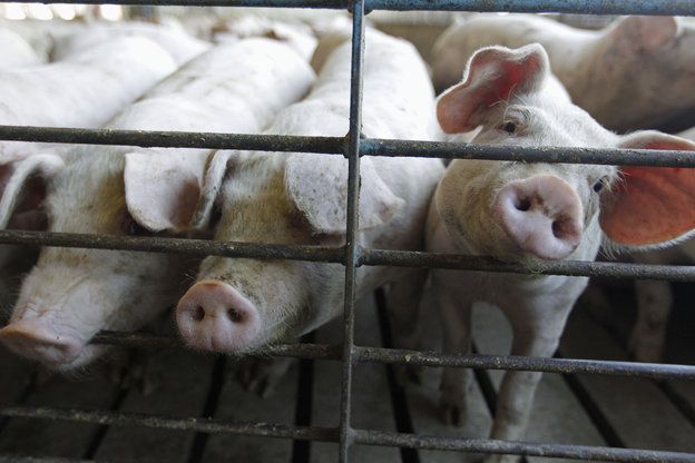 In recent years, pork producers have found ways to keep the animals healthy through improved hygiene. Photo: M. Spencer Green/AP