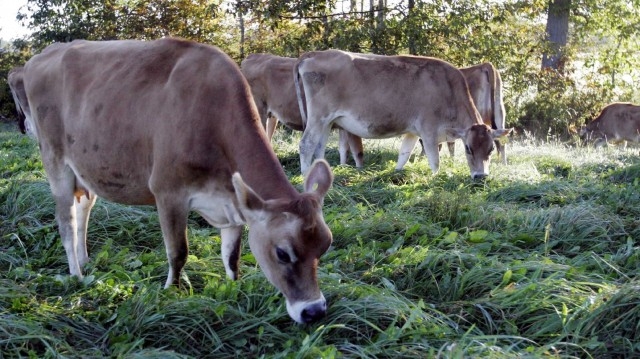 Cows graze in a pasture at the University of New Hampshire's organic dairy farm in Lee, N.H., Sept. 27, 2006. Photo: Jim Cole/AP