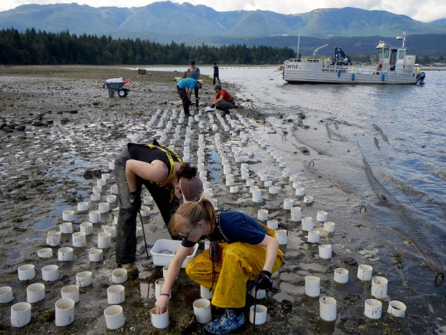 A geoduck farm near Totten Inlet, Washington. Photo: KBCS/Bellvue/Seattle/Flickr