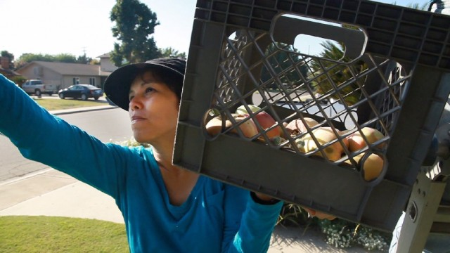 Sarah Ramirez runs an organization that brings excess produce to the hungry. Here, she gleans apples from a front yard. Photo: Scott Anger/KQED