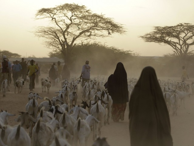 Somali refugees lead their herds of goats home for the night outside Dadaab, Kenya. A new study shows that animals in many parts of the developing world require more food — and generate more greenhouse emissions — than animals in wealthy countries. Photo: Rebecca Blackwell/AP