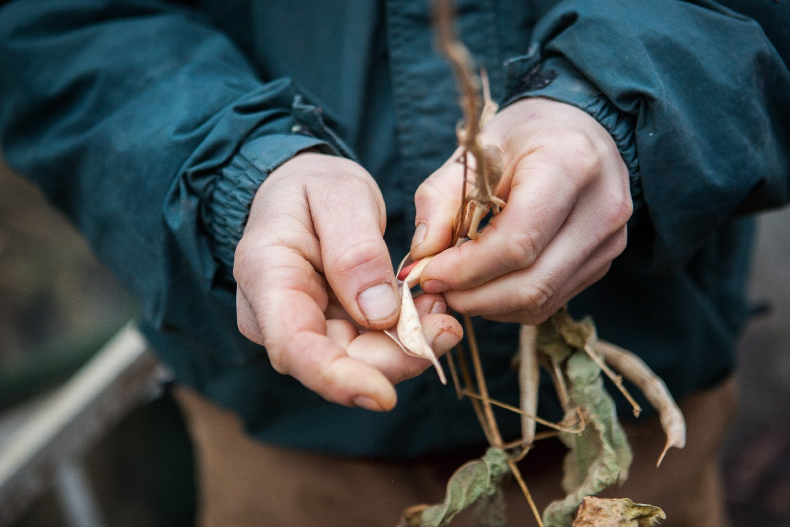 Guerre breaks open a dried red kidney bean stalk. Photo: Zac Visco for NPR