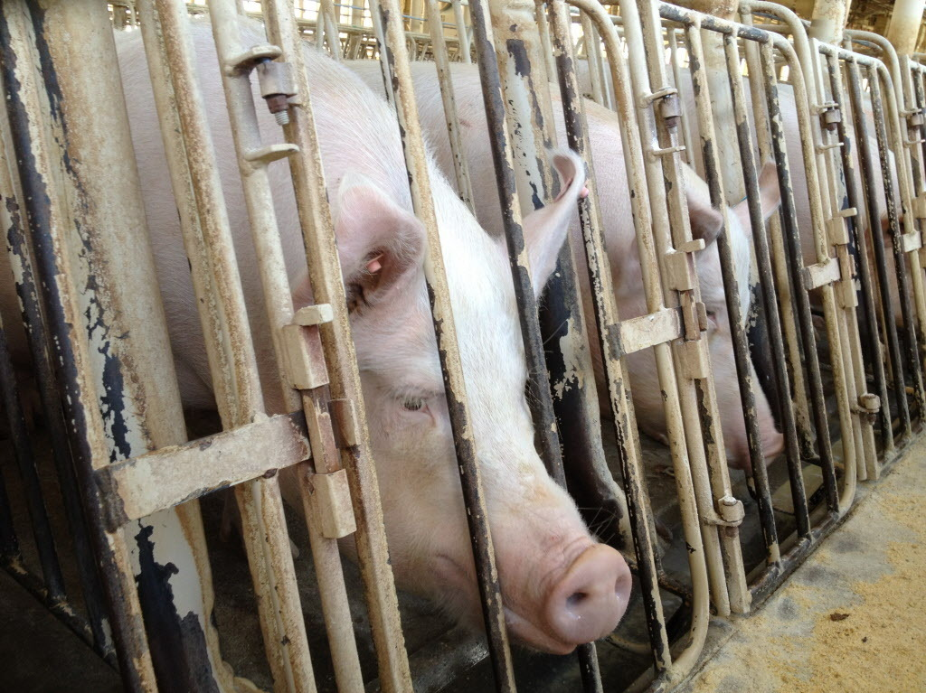 A Humane Society investigation of a Wyoming pig breeding facility to the introduction of an ag-gag bill in Wyoming, which eventually failed. Photo: Courtesy of Humane Society of the U.S.