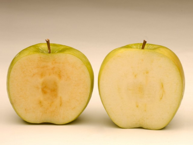 Soon after being sliced, a conventional Granny Smith apple (left) starts to brown, while a newly developed GM Granny Smith stays fresher looking. Photo courtesy of Okanagan Specialty Fruits Inc.
