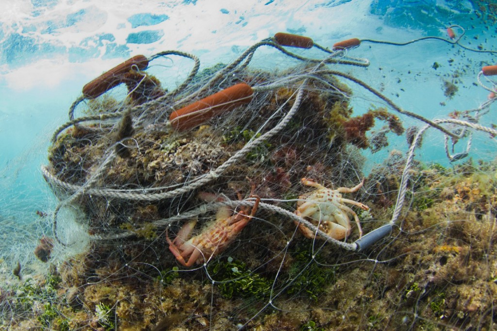 A gillnet about 300-feet long was found abandoned on a reef near Oahu, Hawaii. Many marine mammals end up caught in fishing gear like these large mesh nets that fishermen set on the seafloor or leave to float in the ocean. Photo: Frank Baersch/Marine Photobank