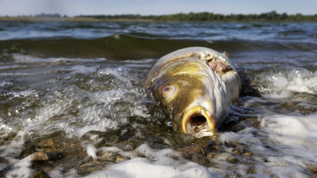 A dead carp floats in water near the shore at Big Creek State Park on Sept. 10 in Polk City, Iowa. Like many agricultural states, Iowa is working with the EPA to enforce clean-water regulations amid degradation from manure spills and farm-field runoff. Photo: Charlie Neibergall/AP