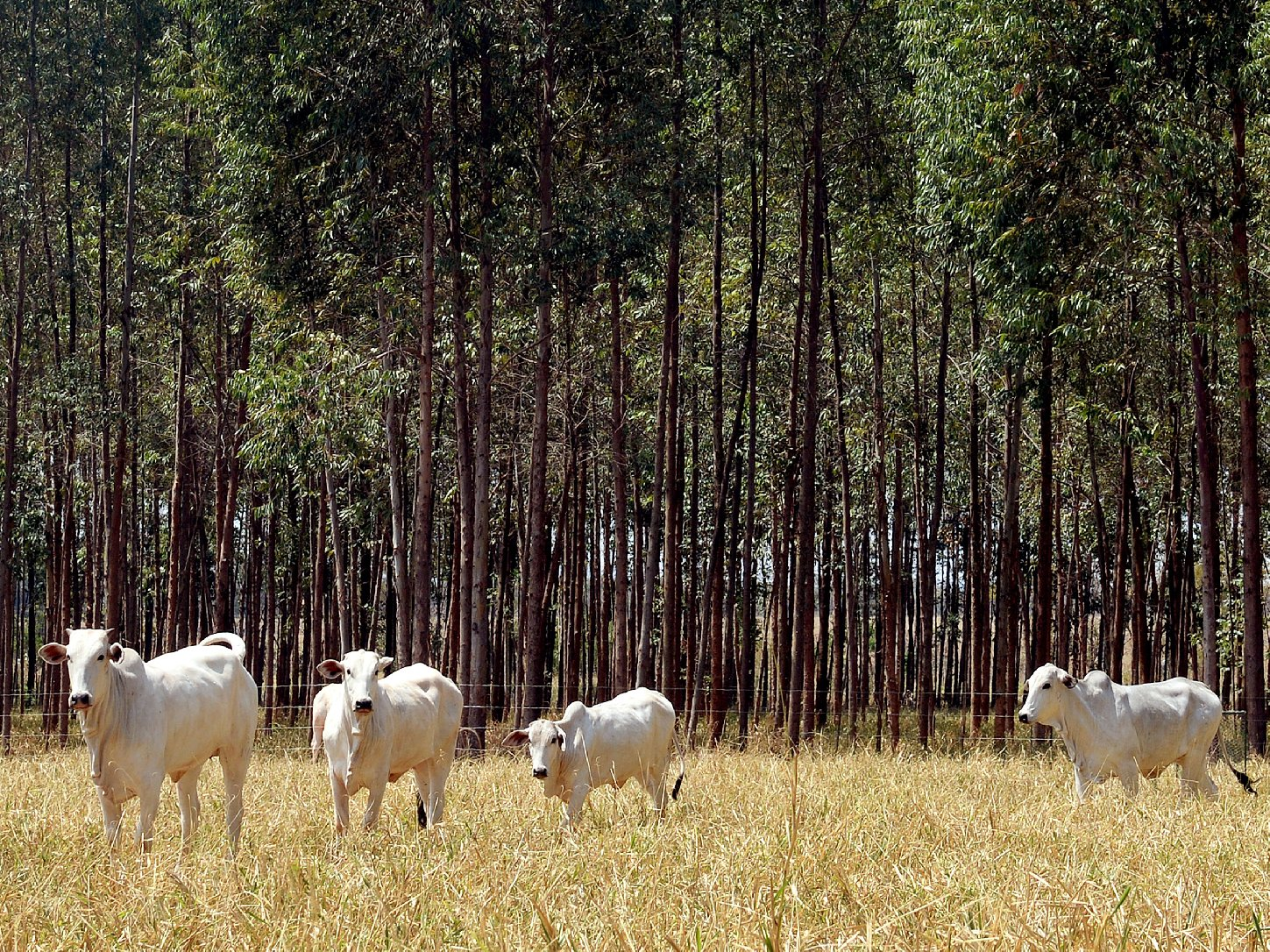 Cattle graze at a Brazilian Agricultural Research experimental farm in Planaltina in Goias state. To reduce emissions from deforestation, the Brazilian government is experimenting with grazing on integrated forest and pasture lands. Photo: Evaristo Sa/AFP/Getty Images