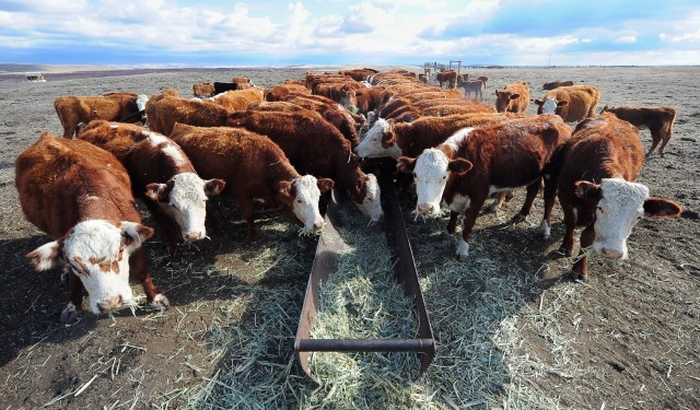 Cattle grazing. Photo: Frederic J. Brown/AFP-Getty Images