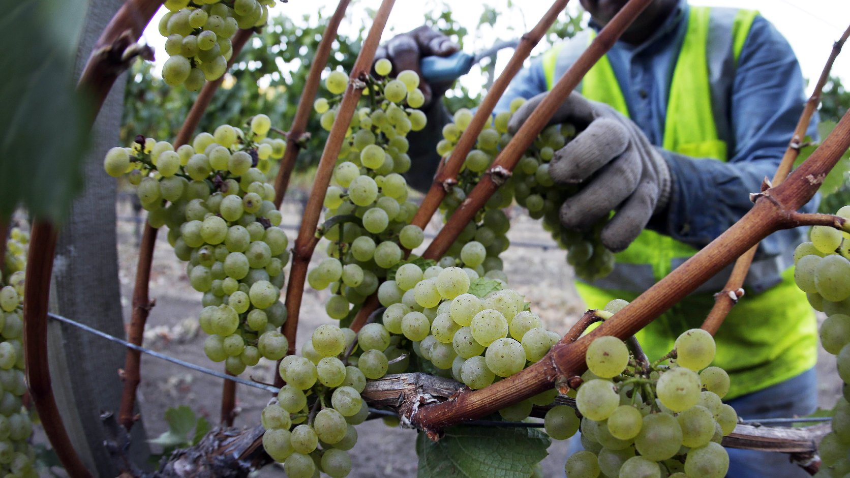 Chardonnay grapes are picked in the Stelling Vineyard at Far Niente winery Wednesday morning, Aug. 28, 2013 in Oakville, Calif. Photo: Eric Risberg/AP