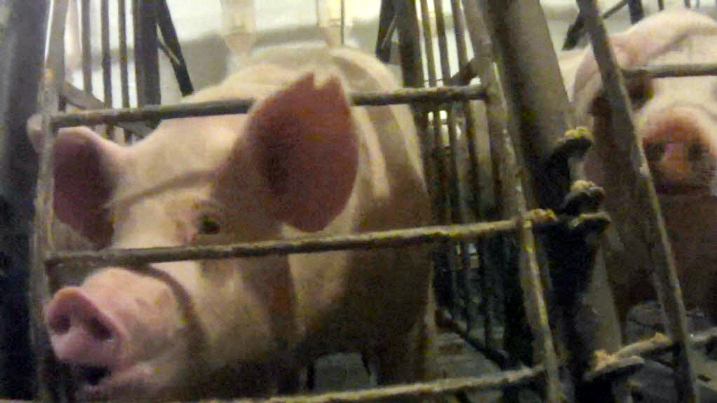 A screengrab from an undercover video released by the Humane Society of the U.S. shows a pig in a gestation crate at Iron Maiden Farms in Owensboro, Ky. Photo: Courtesy of the Humane Society of the United States