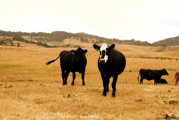 Cows on dry grass. Photo: Courtesy of CUESA