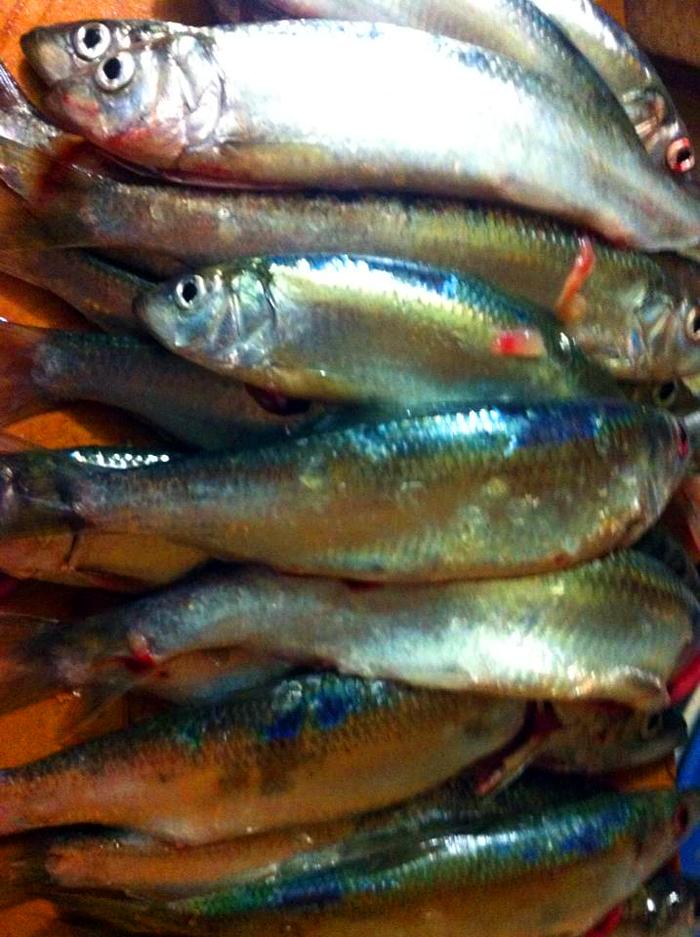 Fresh herring from Richardson Bay. Photo: Maria Finn