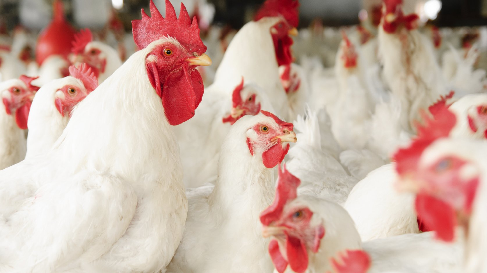 Do these chickens look medicated? Photo: iStockphoto