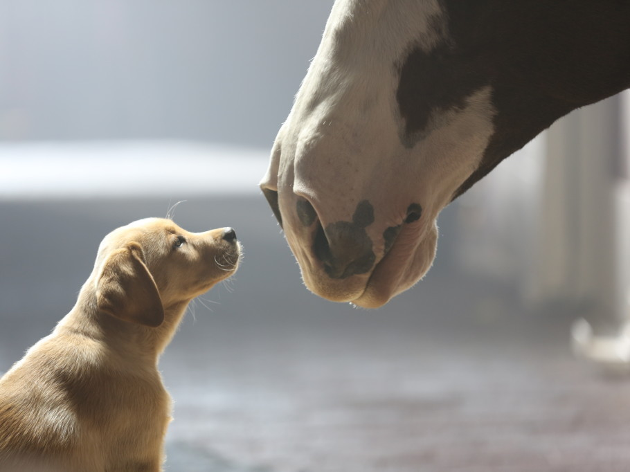Puppy + Clydesdale = awww. Photo: Anheuser-Busch.com