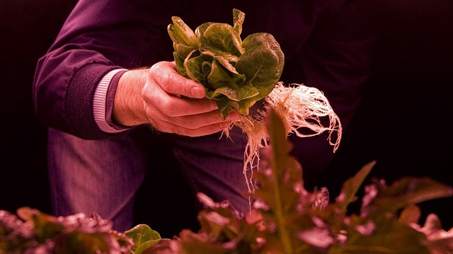 Zero Carbon Food is growing leafy greens, herbs and microgreens in a World War II bomb shelter in London. Photo: Zero Carbon Food