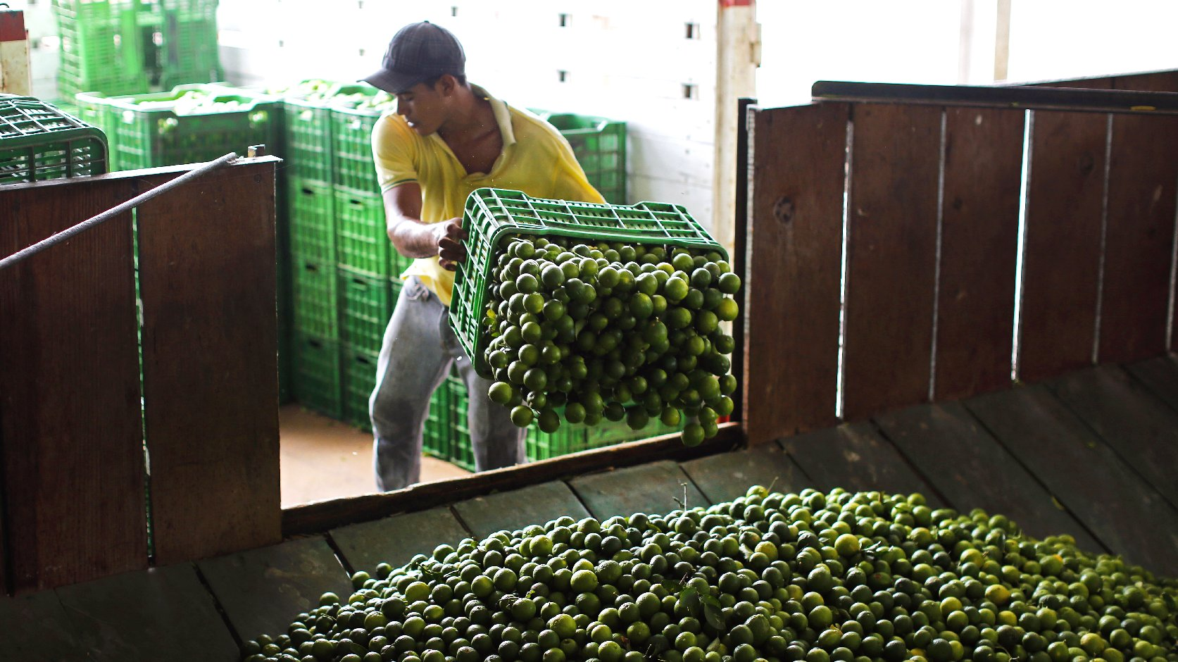 A worker unloads a truck full of Mexican limes at a citrus packing plant in La Ruana, in the state of Michoacan, Mexico. Photo: Dario Lopez-Mills/AP