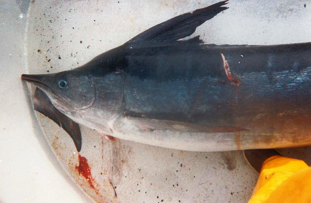 "A marlin caught as bycatch by the California drift gillnet fishery. The conservation group Oceana called the fishery one of the ""dirtiest"" in the U.S. because of its high rate of discarded fish and other marine animals. Photo: Courtesy of NOAA"