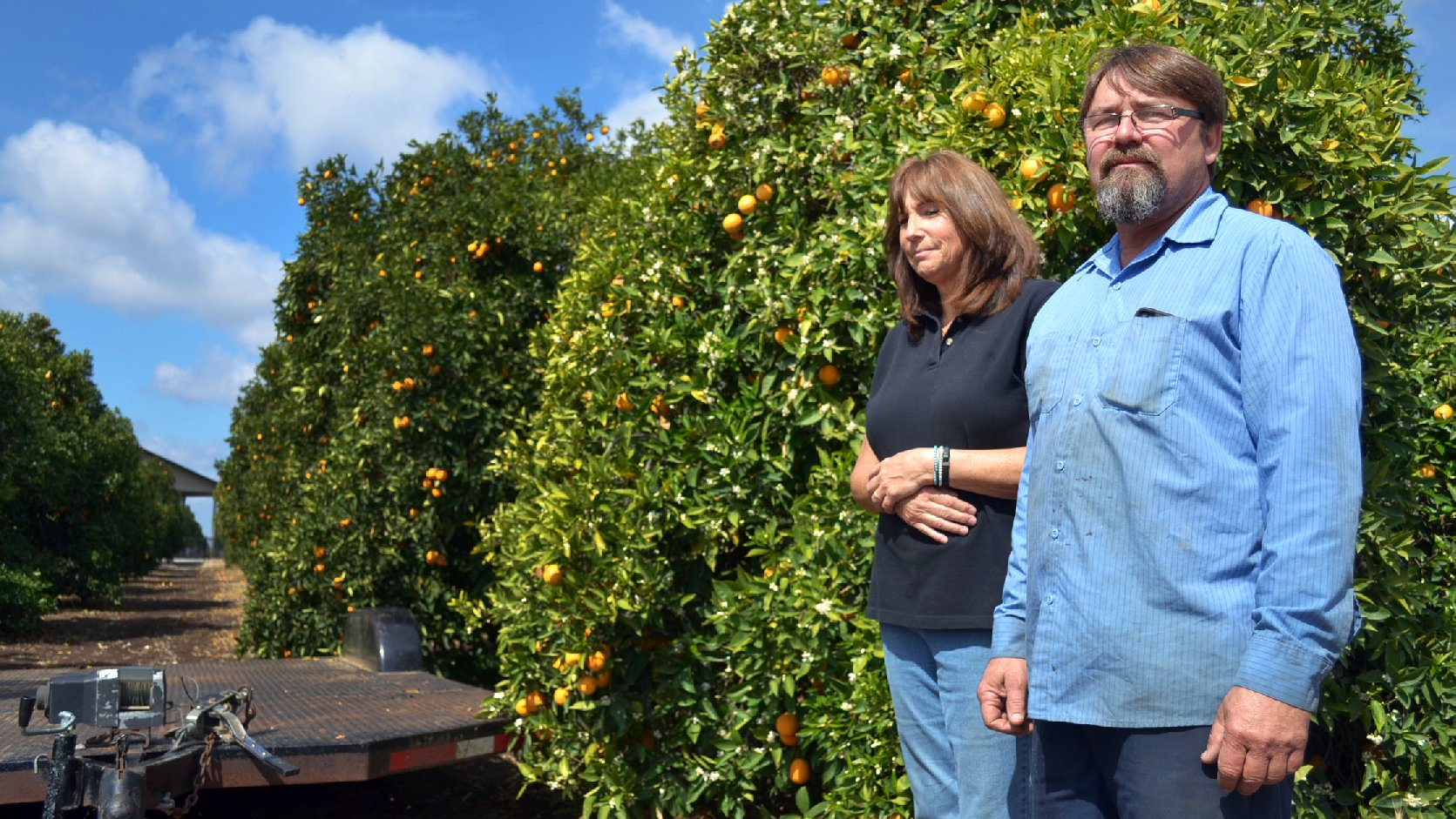 Recent rains kept Suzanne and Mike Collins' orange grove alive, but the rainy season is ending. If they don't get federal irrigation water by this summer, their trees will start dying. Photo: Kirk Siegler/NPR