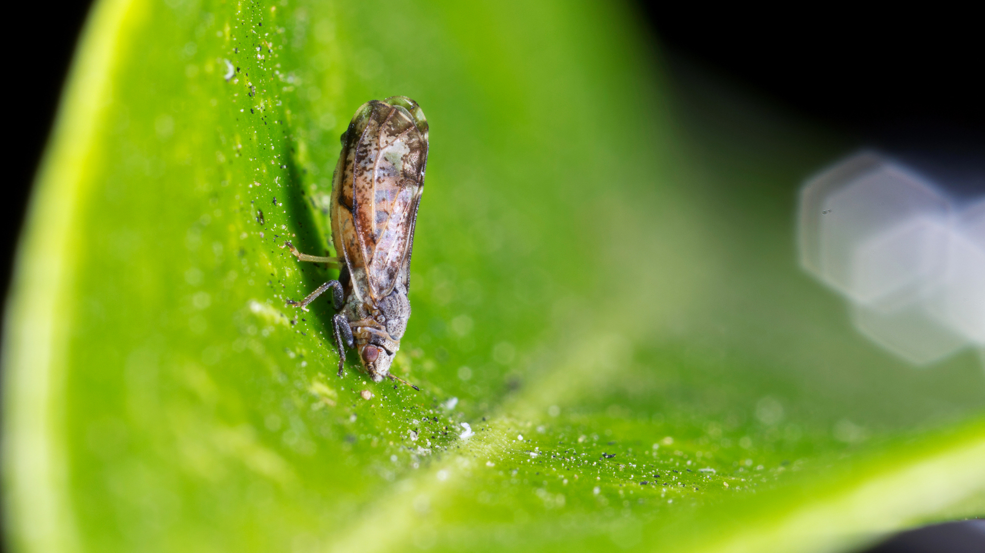 The parasitic wasp Tamarixia radiata is the natural enemy of the invasive Asian citrus psyllid. Photo: Mike Lewis/Center for Invasive Species Research, UC Riverside