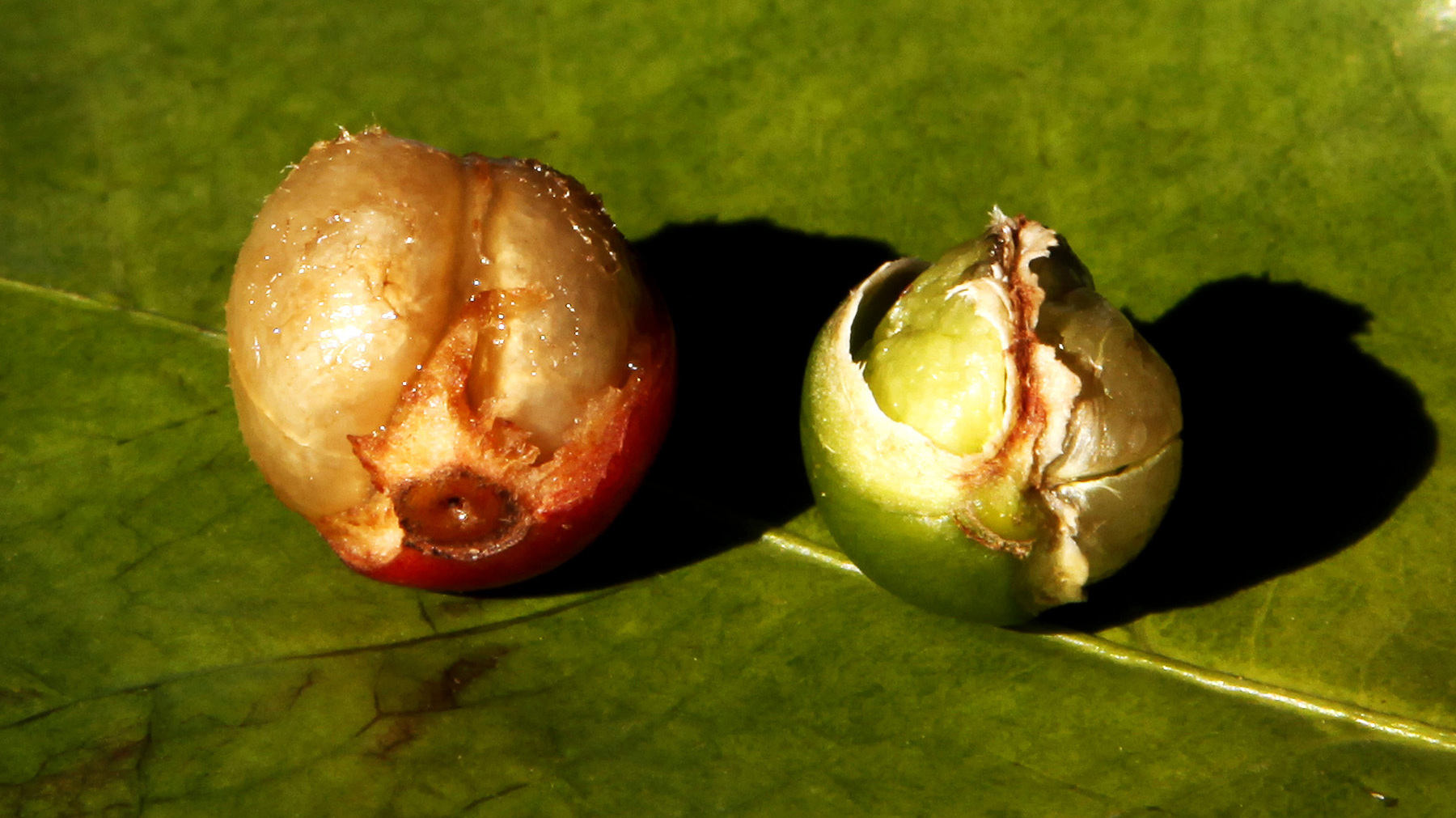 A fully formed coffee berry, left, is shown next to a damaged coffee berry due to drought, at a coffee farm in Santo Antonio do Jardim, Brazil on Feb. 6. Photo: Paulo Whitaker/Reuters/Landov